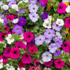 10 Plants For Beautiful Hanging Baskets