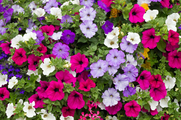 the best flowers for hanging baskets www.thekusilife.com
